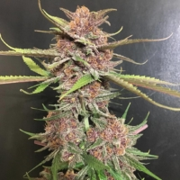 Black Cherry Soda Bx2 cannabis strain