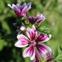 seeds mallow mystic merlin