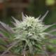 purple early train marijauna seeds bred by shapeshifter