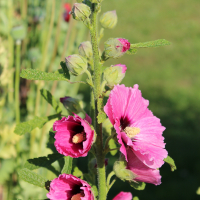 common hollyhock seeds halo cerise