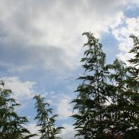 false hemp seeds
