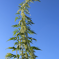 datisca cannabina false hemp seeds