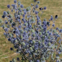 Blue Eryngium caeruleum seeds