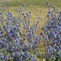 Eryngium planum seeds