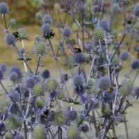 blue sea holly seeds
