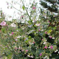nicotiana mutablis flowers