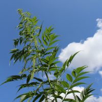 False Hemp perennial