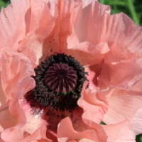 find oriental poppy seeds papaver