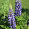lupinus the governor seeds