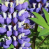 lupine wit bumble bee
