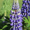 russell lupine the governor seeds
