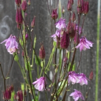 munstead pink and white columbine seeds
