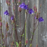 purple columbine seeds