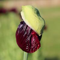 drama queen poppy seeds