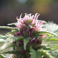 Pink pistils on marijuana plant Duckweb IBL