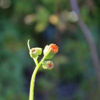 tassel flower seeds