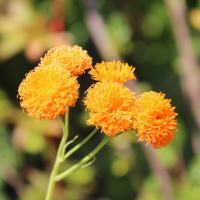 orange tassel flower irish poet seeds