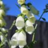 digitalis alba seeds
