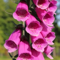 digitalis purpurea seeds pink