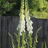 white foxglove plants