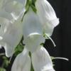 white foxglove seeds