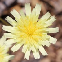 Pale Yellow False Dandelion