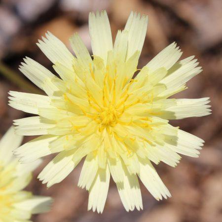 Pale Yellow False Dandelion