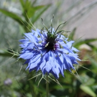 nigella love in a mist seeds