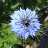 love in a mist seeds blue