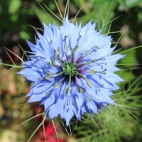 blue nigella love in a mist seeds
