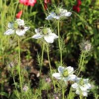white nigella seeds