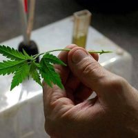 cannabis cuttings shipped