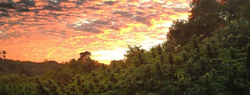 outdoor marijuana seeds field at sunset