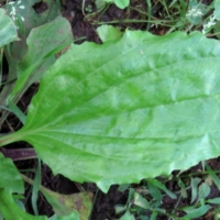 common plantain leaf