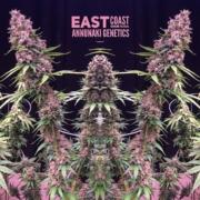 east coast sour soda marijuana seeds