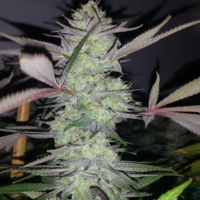 electric grape punch cannabis marijuana seeds