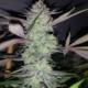 electric grape punch cannabis marijuana seeds