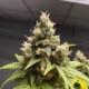 golden kush cannabis strain