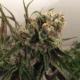 purple congolese cannabis seeds