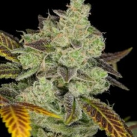 birds of paradise seeds dynasty genetics