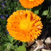 pot marigold seeds