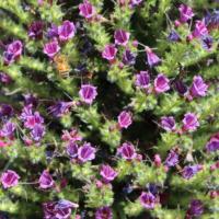 Pine Echium