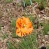 papaver atlanticum flore pleno
