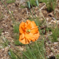 papaver atlanticum flore pleno
