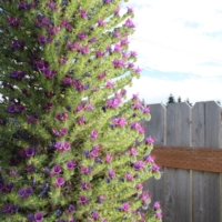 tower of flowers echium