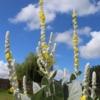 Verbascum bombyciferum arctic summer