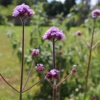 purple top vervain clusters