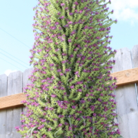 echium pininana blue steeple