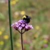 bumblebee on brazilian vervain