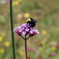 bumblebee on brazilian vervain